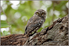 6977 - spotted owlet (chandrasekaran a 40 lakhs views Thanks to all) Tags: spottedowlet owlet birds nature india chennai canoneos760d tamronsp150600mmg2
