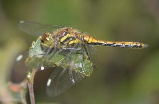 Black Darter – Sympetrum danae — Female