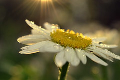 sing (joy.jordan) Tags: daisy flower raindrops texture light sunset bokeh aftertherain summer nature backyard
