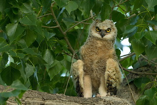 Great Horned Owl ready to leave nest