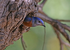 Western Bluebird (Sialia mexicana) (Ron Wolf) Tags: nationalpark pinnaclesnationalpark sialiamexicana turdidae westernbluebird bird nature nest nesting wildlife california