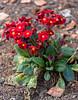 Bright Red (Jocey K) Tags: southisland newzealand nikond750 christchurch monavale flowers