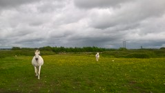 White Horses (mcginley2012) Tags: horse whitehorse buttercups field ireland farm gallop lumia650 cameraphone galway grey green sky cloud rural