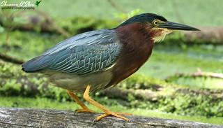 Madder than a wet heron