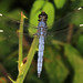Spangled Skimmer - Libellula cyanea, Meadowood Farm SRMA, Mason Neck, Virginia