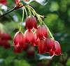 Hanging Beauties (hessamt) Tags: littlefieldornamentalgarden universityofmaine flowers red hanging lanterns backlighting bokeh enkianthuscampanulatus redveinenkianthus