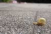 Snail (elzauer) Tags: laufen bayern germany de road snail animal animalantenna animalshell animalthemes animalsinthewild closeup day differentialfocus diminishingperspective focusonforeground fragility gardensnail imagefocustechnique nature oneanimal outdoors photography slow street surfacelevel tarmac thewayforward wildlife