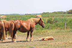 Mittagsschläfchen (ow54) Tags: pferd kaltblut fohlen sylt tiere horses