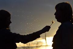 Blow (Thomas Roland) Tags: mælkebøtte dandelion taraxacum silhouettes silhouet evening sunset sweden sverige öland øland spring forår