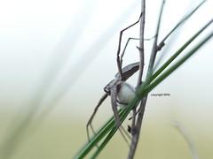 Pisaura mirabilis carrying around its cocoon (Phil Arachno) Tags: mönchbruch arachnida spinne chelicerata germany hessen pisauridae spider