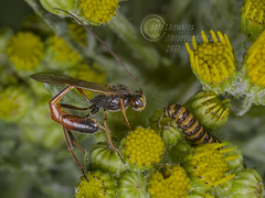 _IMG9488 Ichneumon Wasp attempting to predate a Cinnabar Moth Caterpillar (Pete.L .Hawkins Photography) Tags: ichneumon wasp attempting predate cinnabar moth caterpillar petehawkins petelhawkinsphotography petelhawkins petehawkinsphotography pentax 100mm macro pentaxpictures pentaxk1 fantasticnature fabulousnature incrediblenature naturephoto wildlifephoto wildlifephotographer naturesfinest unusualcreature naturewatcher insect invertebrate bug 6legs compound eyes creepy crawly uglybug bugeyes fly wings eye veins flyingbug flying