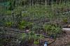 June 2017 polyculture garden update - 42 (pakovska) Tags: garden gardening vegpatch allotment potager jardin jardinage moestuin volkstuin forestgarden groentetuin permaculture polyculture