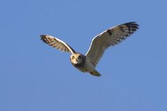 SEO (Asio flammeus) (Robba Wag) Tags: shortearedowl asioflammeus wild british birds seo
