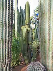 Majorelle Cacti (Ellsasha) Tags: majorellegarden majorelleblue gardens marrakesh moroc morocco northafrica yvessaintlaurent cacti cactus canonpowershota620