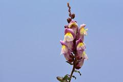Bocca di leone (STE) Tags: fiori bocca di leone antirrhinum 300f4afs fiore flower flowers