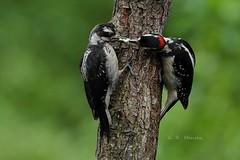 Hairy Woodpeckers (cobalt_creek) Tags: woodpecker hairywoodpecker juvenilehairywoodpecker juvenilefemalehairywoodpecker malehairywoodpecker picoidesvillosus canon canon5dmarkiii birdsofwashingtonstate wawildlife birdinginwa washingtonstatewildlife backyardbirding birdinginthepacificnorthwest pnw wa wildlifeofthepacificnorthwest greghensen