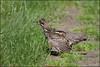 Hazel grouse / Самка рябчика отвлекает внимание от выводка / Tetrastes bonasia (Dmitry Kulakov) Tags: hazelgrouse рябчик tetrastesbonasia