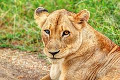Lionne (Mat Distef) Tags: afriquedusud southafrica animal nature lion travel light portrait
