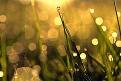 simplicity (joy.jordan) Tags: grass field dew morning sunrise light bokeh texture nature hbw