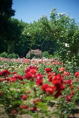 Bucharest (silvia_mozzon) Tags: dimitrie brândză dimitriebrândză bucarest bucharest botanical garden botanicalgarden giardinobotanico rose roses roseto nature natura fiori flowers travel romania esteuropa