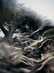 Abstracted Tree of Life (Paul T. Marsh/PositivePaul) Tags: paultmarsh leicadigital leicadigilux3 kalaloch 25mmf14 wwwpaulmphotographycom beach leica kalalochtree treeoflife lightroomcc olympicpeninsula color paulmarshphotography leicad3 pacificnorthwest nikanalogefexpro2 spring2017 2017