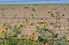 Other Side of the Fence (sundero) Tags: flowers wildflowers sunflowers texas westtexas roadside fence