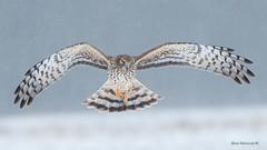 Harrier in winter (Earl Reinink) Tags: raptor bird animal naturephotograpy earl reinink earlreinink hawk northernharrierhawk oazahatdia