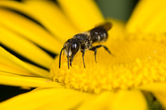 Solitary Bee (Heriades truncorum) (The LakeSide) Tags: insect macro netherlands nikon r1c1 d7100
