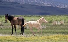 Frisky Foal (cheryl strahl) Tags: california easternsierra leevining wildmustangs wild horses running exuberance colt foal