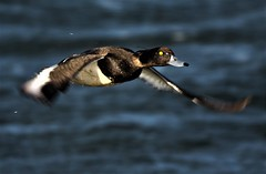 The tufted duck (Aythya fuligula) often just known as Tufties (GrahamParryWildlife) Tags: tufty tufted duck purple sunlight sheen water squint dungeness rspb kent grahamparrywildlife kentwildlife blue wild swimming graham parry canon 7d mk2 sigma 150600 sport outdoor animal waterfowl bird