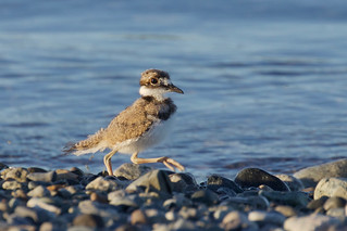 Baby Killdeer 7132