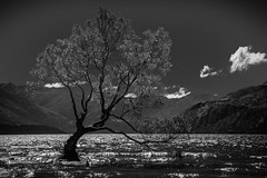 That Wanaka Tree-10