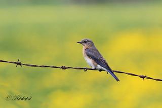 merlebleu (femelle ) / Eastern bluebird ( female )