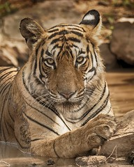 Royalty !! (Devendra Deshmukh) Tags: wildlife travel tiger tigress 500mmf4 d500 nikon