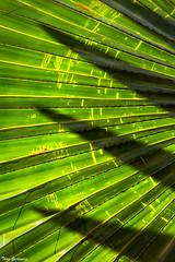 Spikes (Thad Zajdowicz) Tags: zajdowicz losangelescountyarboretum arcadia california usa mothernature nature color colour availablelight canon eos 5dmarkiii 5d3 dslr digital lightroom 2016 plant flora ef24105mmf4lisusm beauty noperson wallpaper background texture arboretumoflosangelescounty palm leaf fan frond light shadow outside outdoors exterior green lines pattern foliage saveearth
