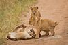 Lions of Maasai Kopjes 443 (Grete Howard) Tags: bestsafarioperator bestsafaricompany africa africansafari africanbush africananimals whichsafaricompany whichsafarioperator tanzania serengeti animals animalsofafrica animalphotos lions lioncubs maasaikopjes kopjes kopje
