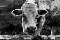 Saliva (giovvanie) Tags: nikon d7200 bw black white blackwhite cow behind saliva crazy 50mm 18g nikor unitedkingdom uk monochrome