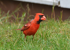 2017-07-07 Cardinal (tsegat01) Tags: red bird cardinal