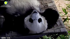 2017_06-20d (gkoo19681) Tags: beibei fuzzywuzzy chubbycubby naptime sleepyhead stillababy sotired beingadorable toocute ccncby nationalzoo