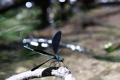 ebony jewelwing, Calopteryx maculata, male, Dorchester county, MD (jimbop22001) Tags: insecta odonata insect damselfly ebonyjewelwing calopteryxmaculata calopterygidae