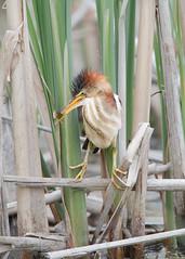 Petit Blongios - Ixobrychus exilis - Least Bittern (Anthony Fontaine photographe animalier) Tags: