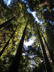 Redwood Forest Facts (moonjazz) Tags: redwoods forest nature green trees tall tallest california environment pine photography save santacruzmountains hiking sierraclub earthscience sempervirens giants canopy dense preserve camping earth planet beauty home sanctuary sacredplace inspiration high lookingup canon moonjazz places beautiful