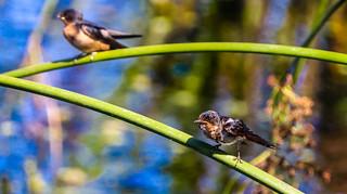 Wet Juvenile Barn Swallow Ballona Freshwater Marsh Los Angeles 209