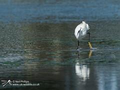 Little egret in West Looe River-8 (Neil Phillips) Tags: ardeidae aves egrettagarzetta littleegret neoaves pelecaniformes bird footed heron longlegs longneck yellow