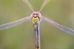 bien aferrada (Santi BF) Tags: libélula libèl·lula dragonfly odonato odonata sympetrumfonscolombii sympetrum macro closeup aproximación