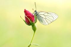 Red love... (Zbyszek Walkiewicz) Tags: butterflies sony