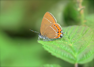 Black Hairstreak DSC_0988