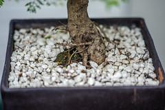 Bonsai (ruimc77) Tags: nikon d700 nikkor 105mm f25 ais closeup macro bonsai tree arvore árvore arbol árbol