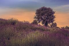 tree (Smo_Q) Tags: tree poland pentaxk3ii summer lavender