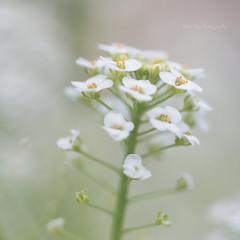sweet alyssum (MikaJC) Tags: sweetalyssum obulariamaritima flowers tinyflowers tamron60mm cropped